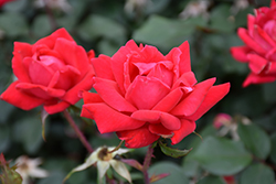 Double Knock Out® Rose (Rosa 'Radtko') at Riverbend Nurseries