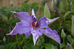 Little Duckling Clematis (Clematis 'Little Duckling') at Riverbend Nurseries
