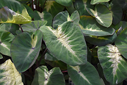 Royal Hawaiian® Tropical Storm Elephant Ear (Colocasia esculenta 'Tropical Storm') at Riverbend Nurseries