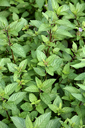 Chocolate Mint (Mentha x piperita 'Chocolate') at Riverbend Nurseries