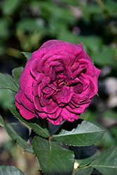 Celestial Night™ Rose (Rosa 'WEKebtigrad') at Riverbend Nurseries