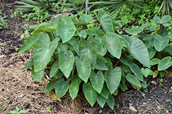Royal Hawaiian® White Lava Elephant Ear (Colocasia esculenta 'White Lava') at Riverbend Nurseries