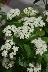 Blue Muffin® Viburnum (Viburnum dentatum 'Christom') at Riverbend Nurseries