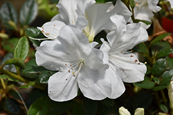 Encore® Autumn Ivory™ Azalea (Rhododendron 'Roblev') at Riverbend Nurseries