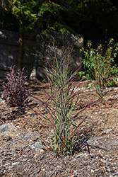 Hot Rod Switch Grass (Panicum virgatum 'Hot Rod') at Riverbend Nurseries