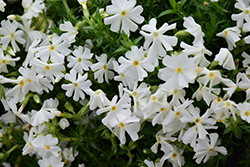 Early Spring™ White Moss Phlox (Phlox subulata 'Early Spring White') at Riverbend Nurseries
