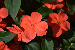 Beacon® Salmon Impatiens (Impatiens walleriana 'PAS1357835') at Riverbend Nurseries