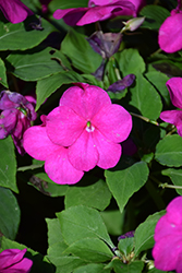 Beacon® Violet Shades Impatiens (Impatiens walleriana 'PAS1357834') at Riverbend Nurseries